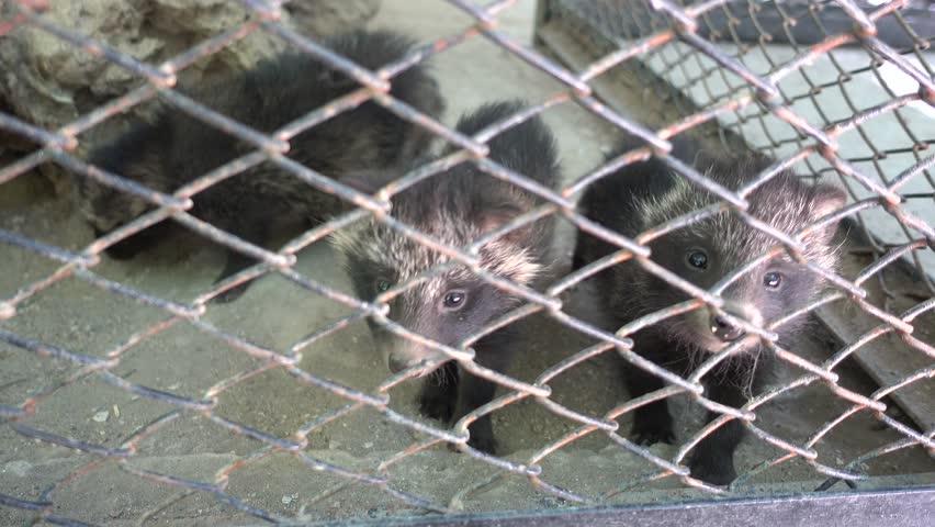 Kherson region, Ukraine - 3d of June 2018: 4K Tour to the Askania-Nova reserve -  Puppies of raccoon dog behind metal net