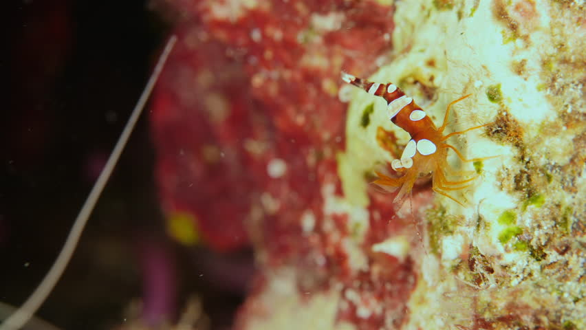 Close up of a cleaner shrimp as a part of the coral reef in the Caribbean Sea around Curacao #1014297722