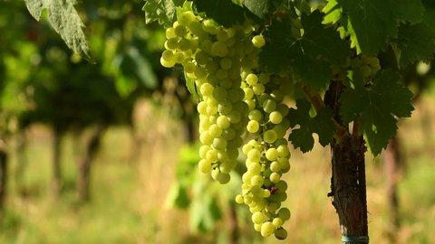 Bunches of white grapes in a Chianti vineyard on a sunny day. Tuscany, Italy. 4K UHD Video. Nikon D500