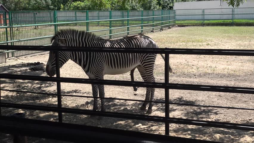 Kherson region, Ukraine - 3d of June 2018: 4K Tour to the Askania-Nova reserve - Zebra with erection cooling in the shadow