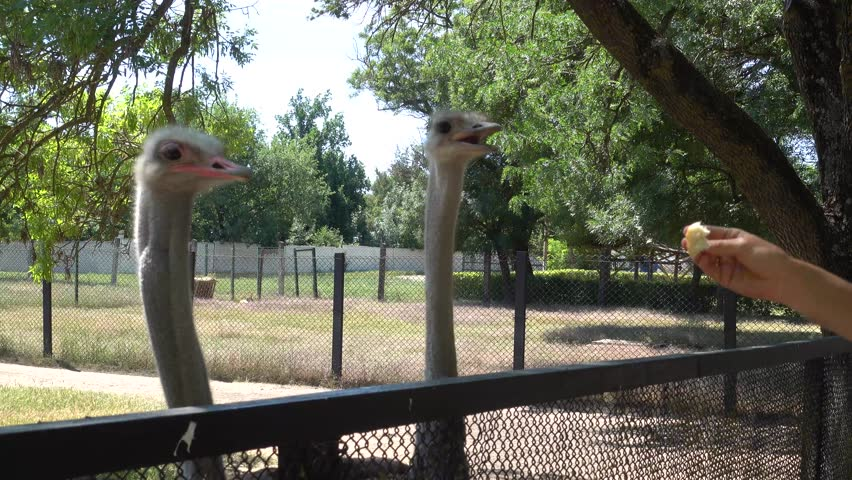 Kherson region, Ukraine - 3d of June 2018: 4K Tour to the Askania-Nova reserve -  Hand feeding of two ostriches