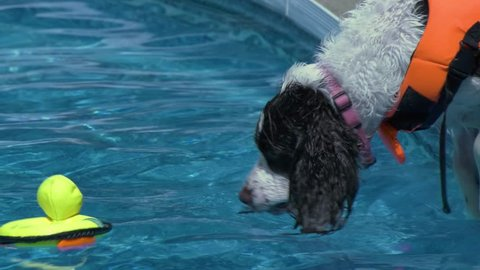 A Springer Spaniel jumps into a pool chasing a rubber ducky toy, closeup, 4K.