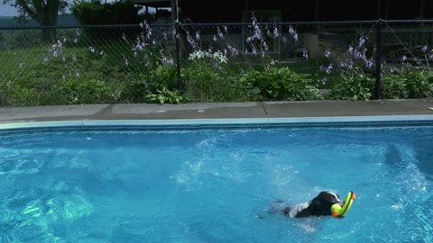 A Springer Spaniel jumps into a pool chasing a rubber ducky toy, slow motion 1080 HD.