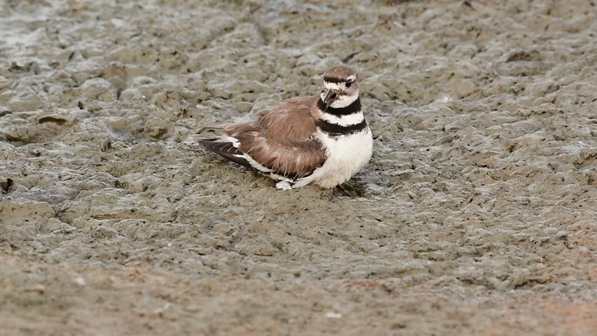 A Killdeer Hatchling in a Mudflat Waiting for its Mother