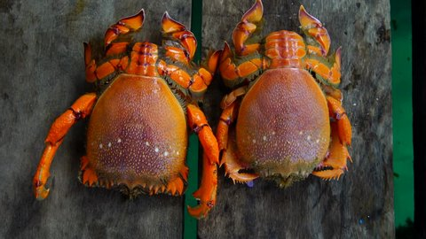 female and male Spanner crab or frog crab (ranina) at Semporna Island,