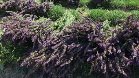 Thrilling on wind flowering garden lavender loose grasses with flying and crawling bees in rows during harvest on herb farm