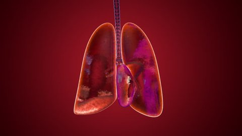 Anatomical animation of breathing and inhaling and exhaling human lungs.