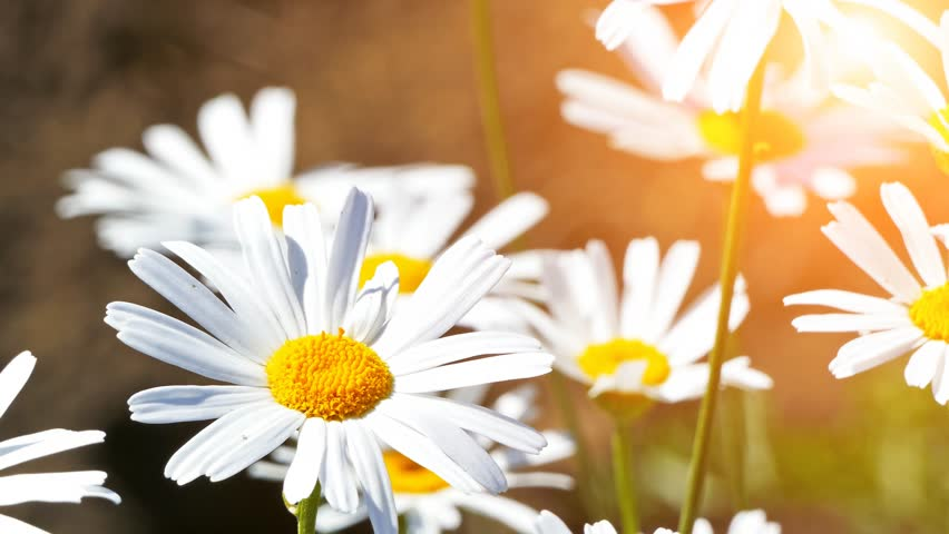 Daisy flowers field. Plant, cosmetics