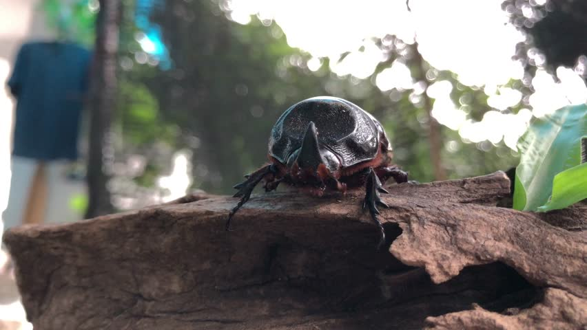 Coconut rhinoceros beetle,or Indian rhinoceros beetle,or Asian rhinoceros beetle walking on old wood,with blur background.It is a very dangerous insect pest of palm and coconut,with glare light.