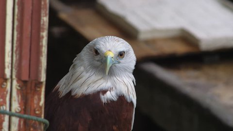 Hawk trained for hunting and driving away birds from farms. Berastagi, North Sumatra Indionesia