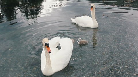 Beautiful swans with small chicks swim in the lake.