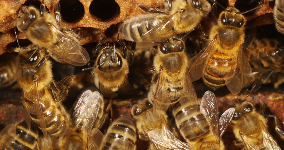 European Honey Bee, apis mellifera, Bees on a wild Ray, Bees working on Alveolus, Normandy, Real Time 4K