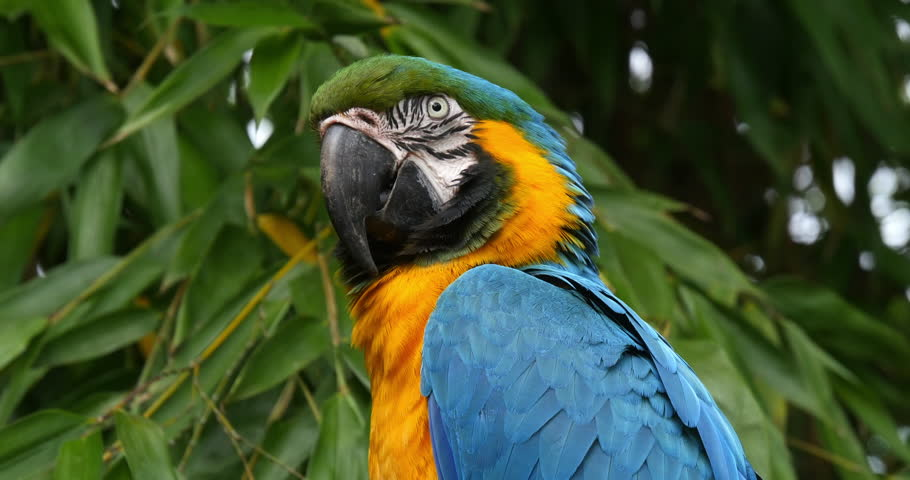 Blue-and-yellow Macaw, ara ararauna, Portrait of Adult, Real Time 4K