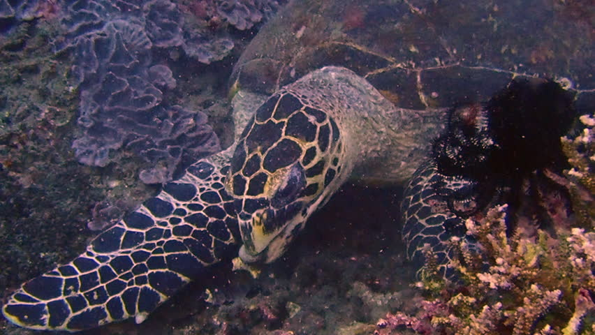 The hawksbill sea turtle swimming in the blue ocean. Underwater scuba diving with large green sea turtle. Hawksbill sea turtle  eating coral on coral reef in the ocean. Sea and wildlife concept.