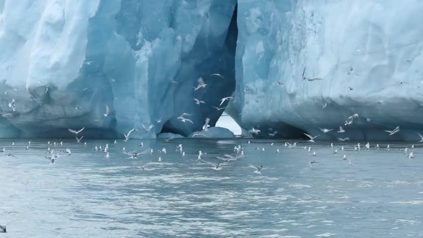 Wideish of gulls and terns fluttering around iceberg, nice balletic terns diving, Antarctica