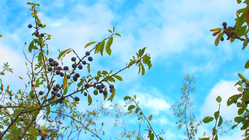 Blackthorn bush with sloe berries swaying in the wind against a cloudy blue sky