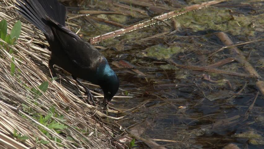 Common Grackle Male Adult Lone Foraging in Summer Marsh Wetland in South Dakota