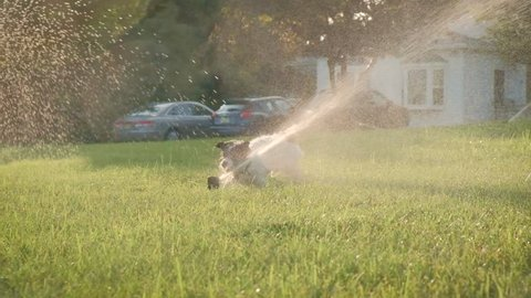 slow motion cute jack russell chihuahua puppy dog plays in sprinklers and runs across lawn in for summer fun. Sunset dog silhouette