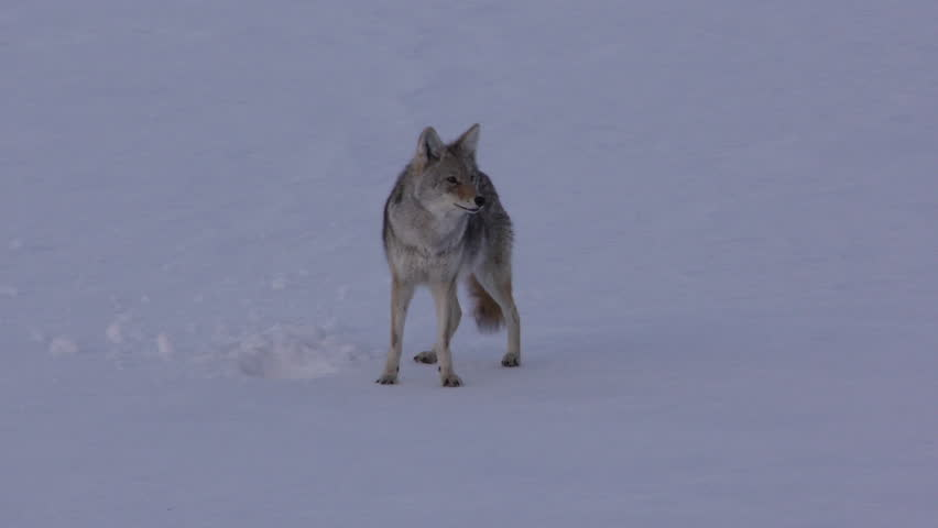 Coyote Adult Lone Calling Howling Barking Singing in Wyoming