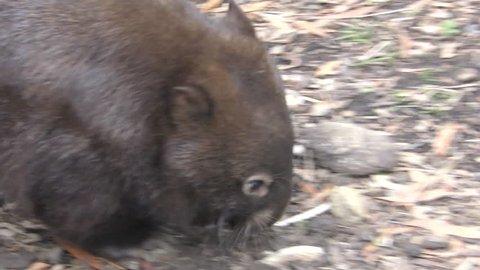 Common Wombat Lone Walking