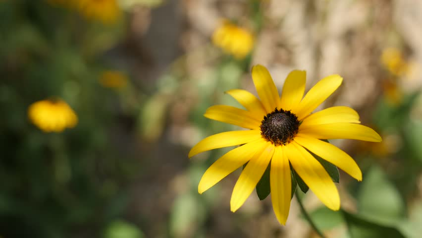 Rudbeckia fulgida Goldsturm flower in the garden 4K video