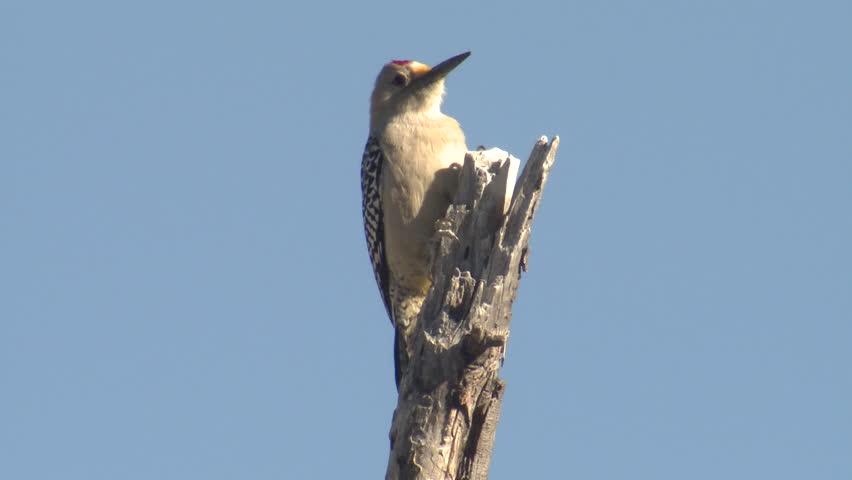 Golden-fronted Woodpecker Adult Lone Flying Flight Dry Season Snag in Texas