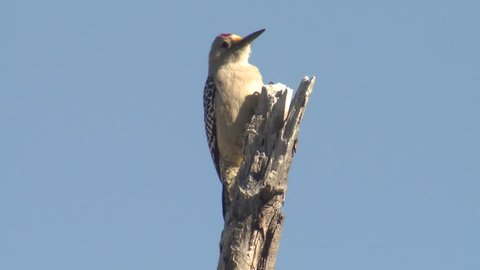 Golden-fronted Woodpecker Adult Lone Flying Flight Dry Season Snag in Texas