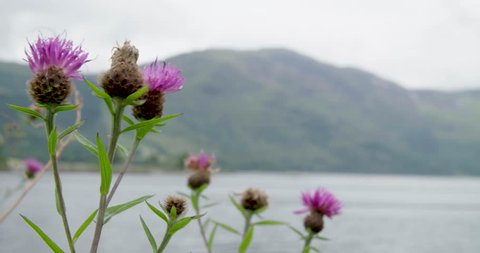Scottish thistle close up in the highlands overlooking the lake | 4K