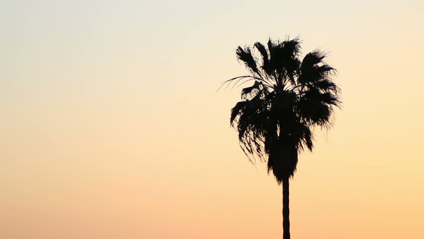Palm tree in California Pacific breeze