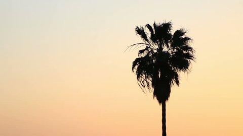 Palm tree in California Pacific breeze