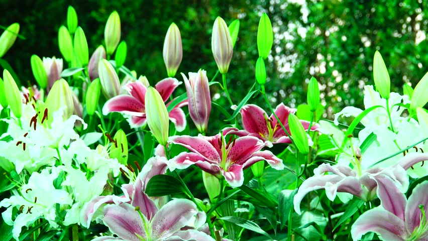 4K beautiful lilly in the garden.