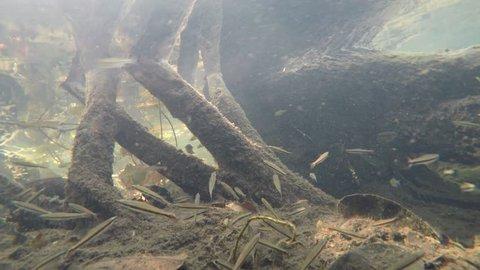 tetra and dwarf cichlids on the jungle creek