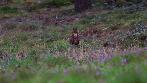 red squirrel, Sciurus vulgaris, running, jumping, caching nuts, food amongs purple flowering heather during august in the cairngorms NP, scotland.