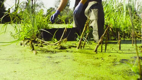 Close up hands of a woman scientist environmentalist standing in a swamp. She taking sample of duckweed and putting it into the petri dish