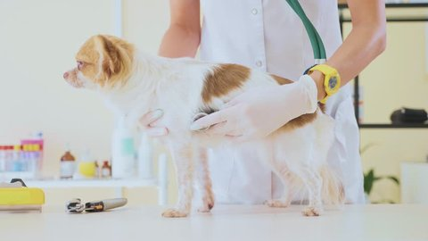 Vet Examine the Dog with Stethoscope In Veterinary Clinic. Little cute chihuahua dog obediently awaits the end of the examining.