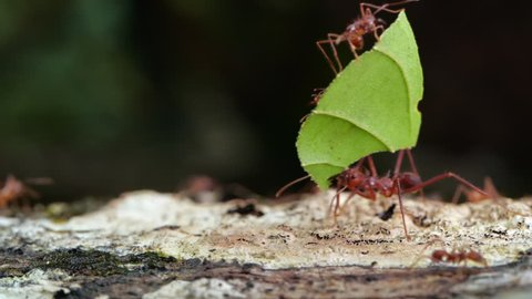 Leaf Cutter Ants (Atta sp.) carrying a leaf along a branch in slow motion. In the Ecuadorian Amazon. A tiny worker (minim) rides on the leaf.