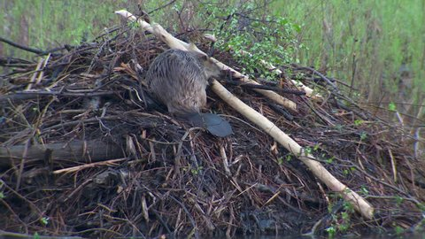 Beaver Adult Lone Working Carrying in Spring Branch Stick Fixing House Dome in South Dakota