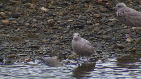 Mew Gull Immature Juvenile Pair Gulls Eating in Fall River Stream Creek in Alaska