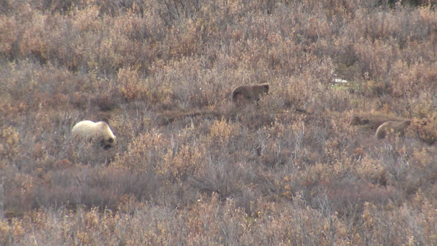 Grizzly Bear Female Adult Young Family Foraging in Fall Digging Roots Tubers Cub Yearling in Alaska