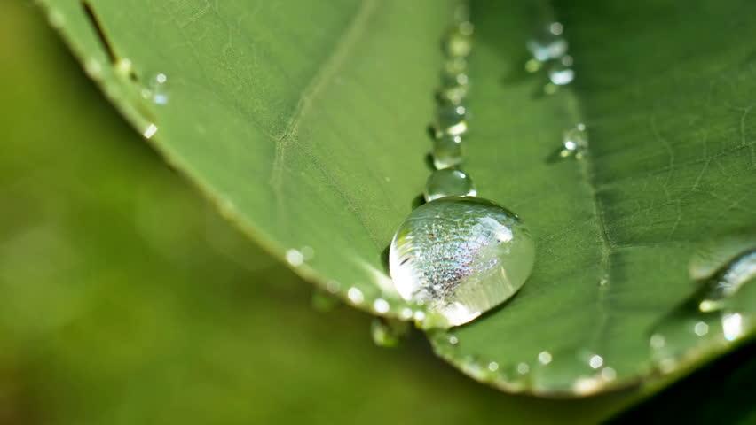 Closeup water drop on Purple Orchid Tree ,Bauhinia purpurea, leaf