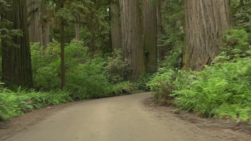 Driving through California redwoods on dirt road