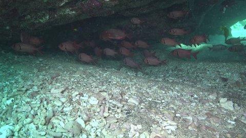 Trumpetfish Yellow in Hawaii