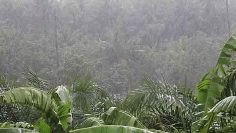 Tropical wind and big rain drops falling on the green palm tree leaves in island Koh Phangan, Thailand. Natural disaster