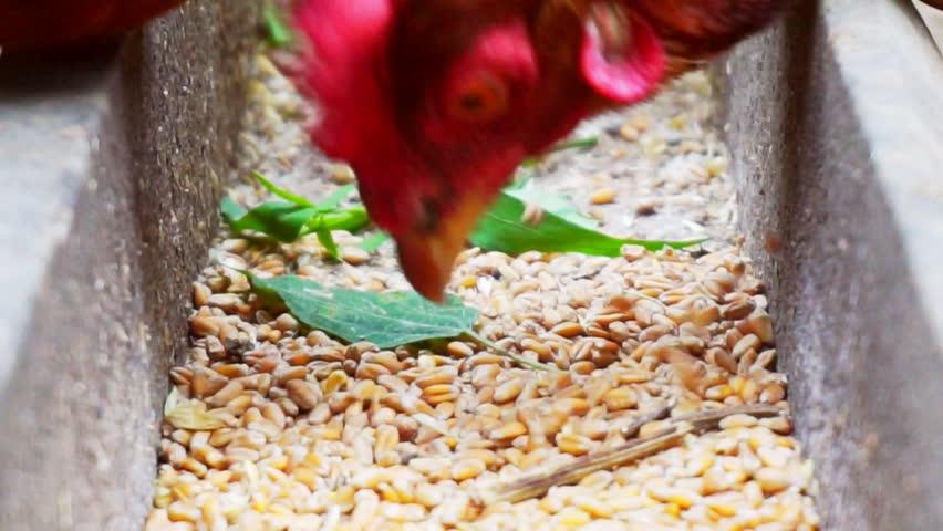 Feeding of poultry.domestic hen pecks grain from trough.close-up. | Shutterstock HD Video #1015124032