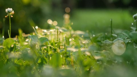 A clover flower in the dewy grass against the morning sun, slow motion handheld