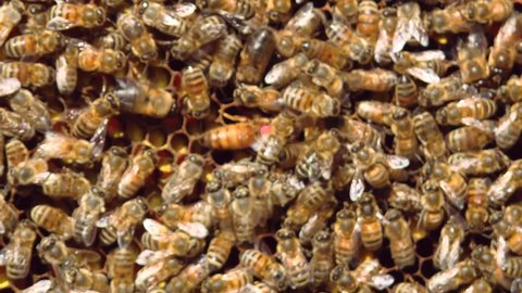 Honey bees crawl on honeycombs. A honeycomb full of honey. Bees seal honeycomb with honey. The queen bee is the queen of the beehive. The queen bee is marked with a pink marker.