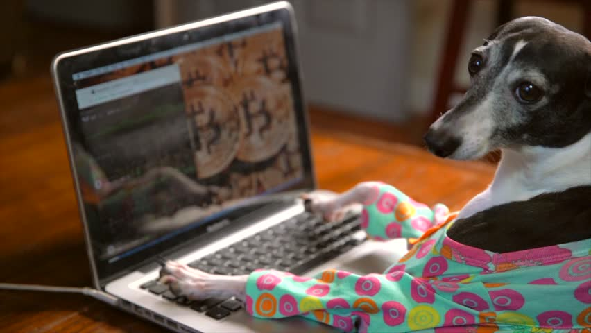 This video shows a side view of a cute italian greyhound in a colorful outfit typing frantically and working on a laptop computer with bitcoin on the computer background.