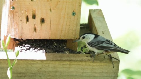 A White-breasted Nuthatch eats sunflower seeds from a wooden feeder.