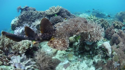 A Tasseled wobbegong, Eucrossorhinus dasypogon, swims over a coral reef in Raja Ampat, Indonesia. This well-camouflaged carpet shark is an ambush predator.