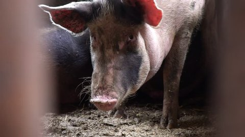 A large pig in a pigsty looks directly at the camera, a view of the pig between the fence rods